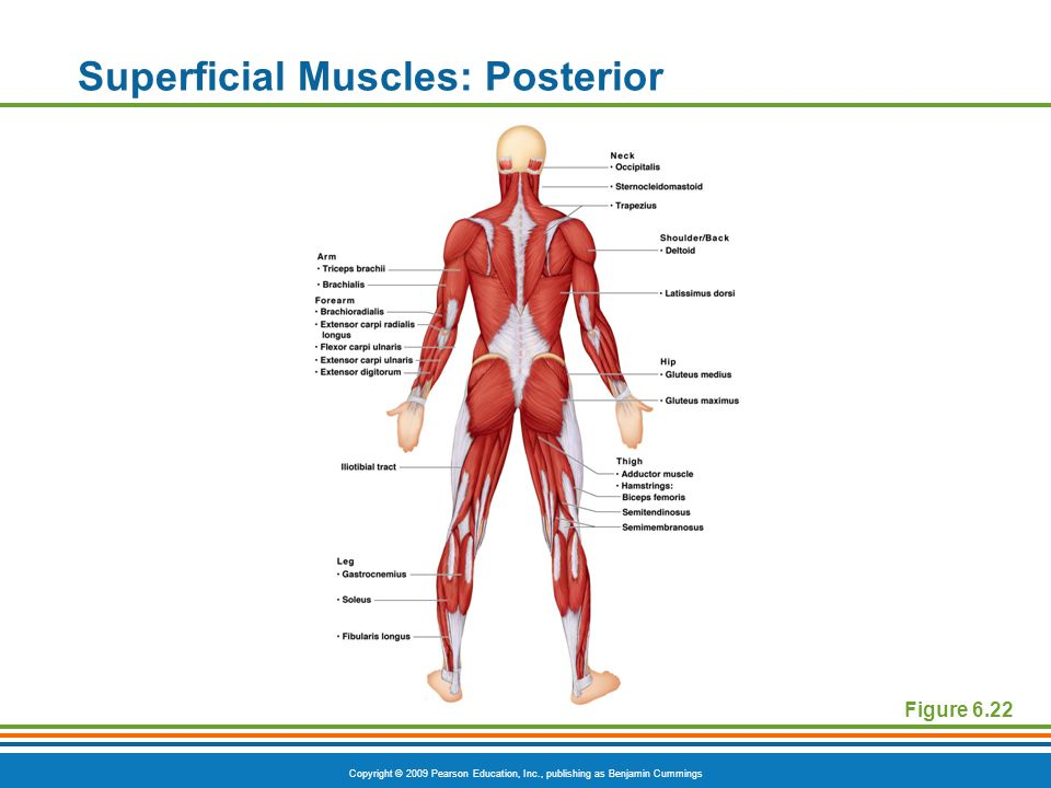 Copyright © 2009 Pearson Education, Inc., publishing as Benjamin Cummings Superficial Muscles: Posterior Figure 6.22