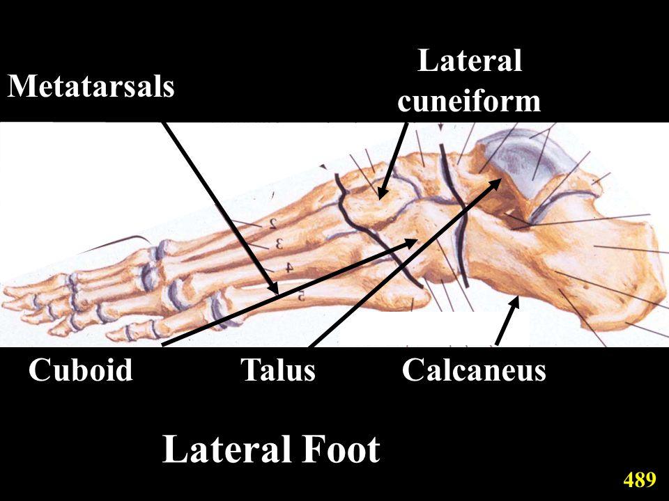 Metatarsals Lateral cuneiform CuboidTalusCalcaneus 489 Lateral Foot