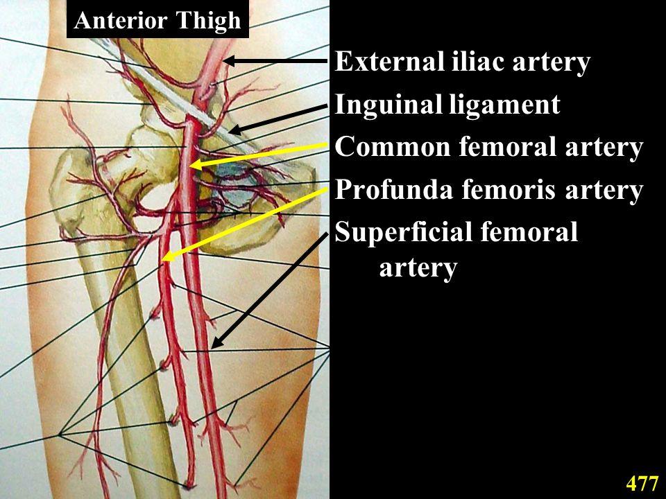 External iliac artery Inguinal ligament Common femoral artery Profunda femoris artery Superficial femoral artery 477 Anterior Thigh