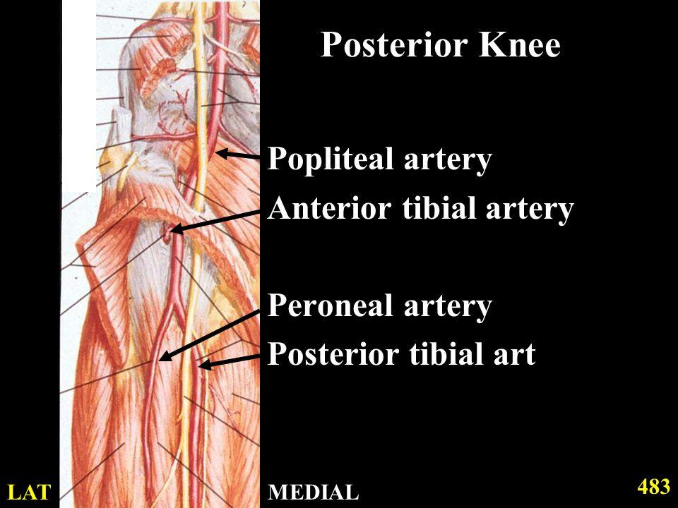 Posterior Knee Popliteal artery Anterior tibial artery Peroneal artery Posterior tibial art 483 MEDIALLAT