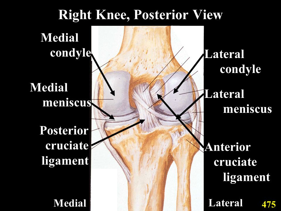 Right Knee, Posterior View Medial condyle Medial meniscus Posterior cruciate ligament Lateral condyle Lateral meniscus Anterior cruciate ligament 475