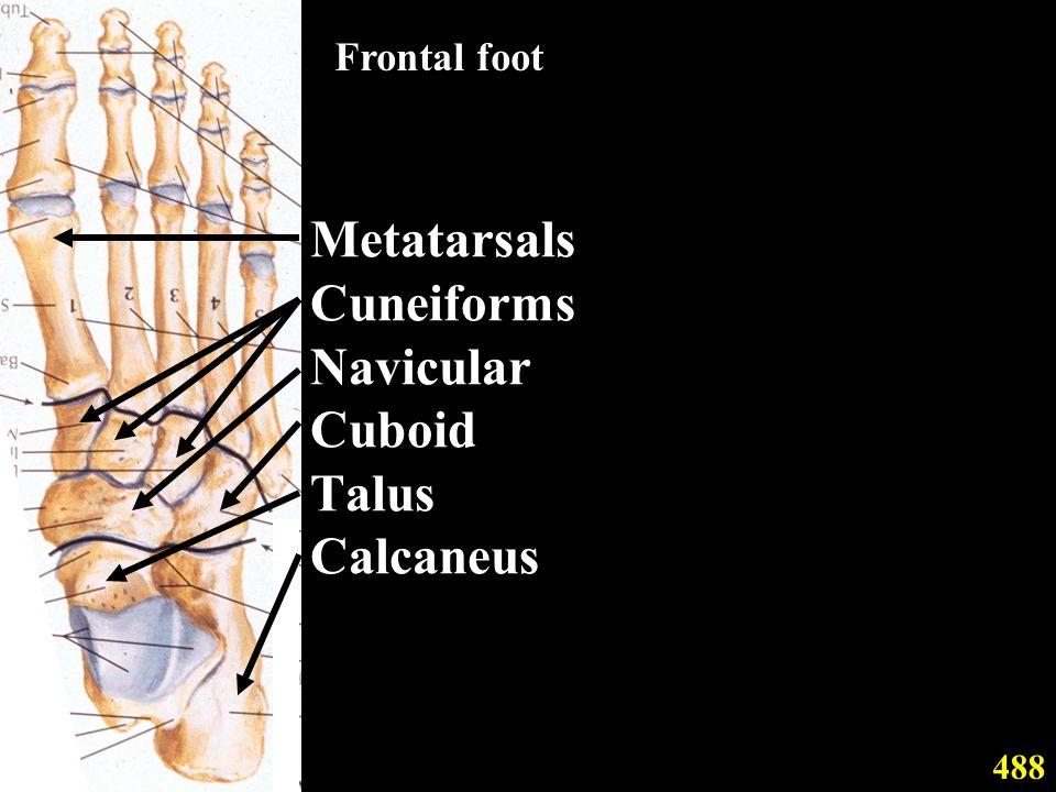 Metatarsals Cuneiforms Navicular Cuboid Talus Calcaneus 488 Frontal foot