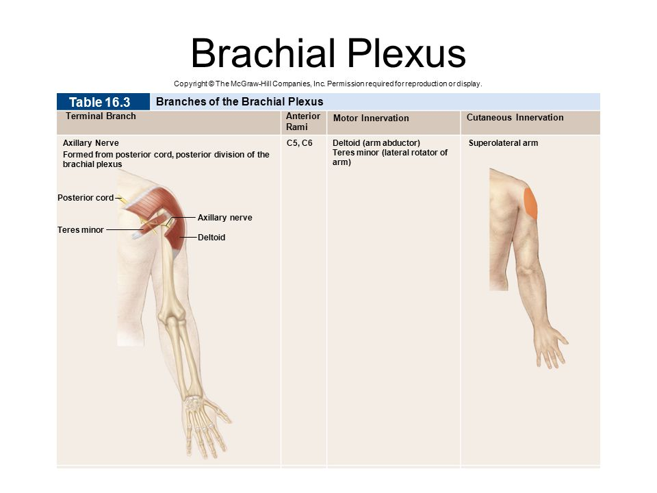 Brachial Plexus Copyright © The McGraw-Hill Companies, Inc. Permission required for reproduction or display. Superolateral arm Cutaneous Innervation M