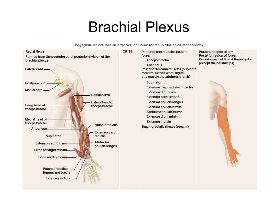 Brachial Plexus Copyright © The McGraw-Hill Companies, Inc. Permission required for reproduction or display. Extensor indicis Extensor pollicis longus