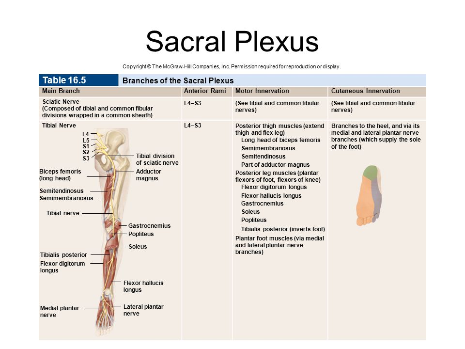 Sacral Plexus Table 16.5 Sciatic Nerve Main Branch Branches of the Sacral Plexus Anterior RamiMotor InnervationCutaneous Innervation Tibial Nerve L4–S