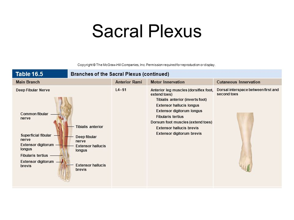Sacral Plexus Copyright © The McGraw-Hill Companies, Inc. Permission required for reproduction or display. Deep Fibular Nerve Table 16.5 Branches of t