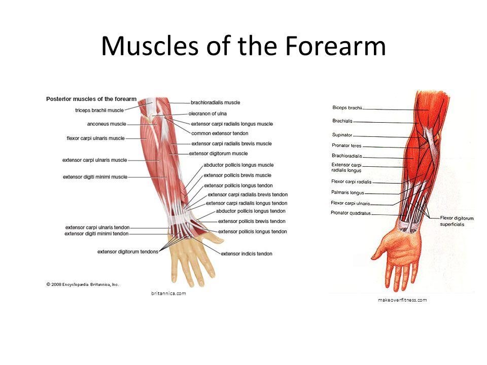 Muscles of the Forearm makeoverfitness.com britannica.com