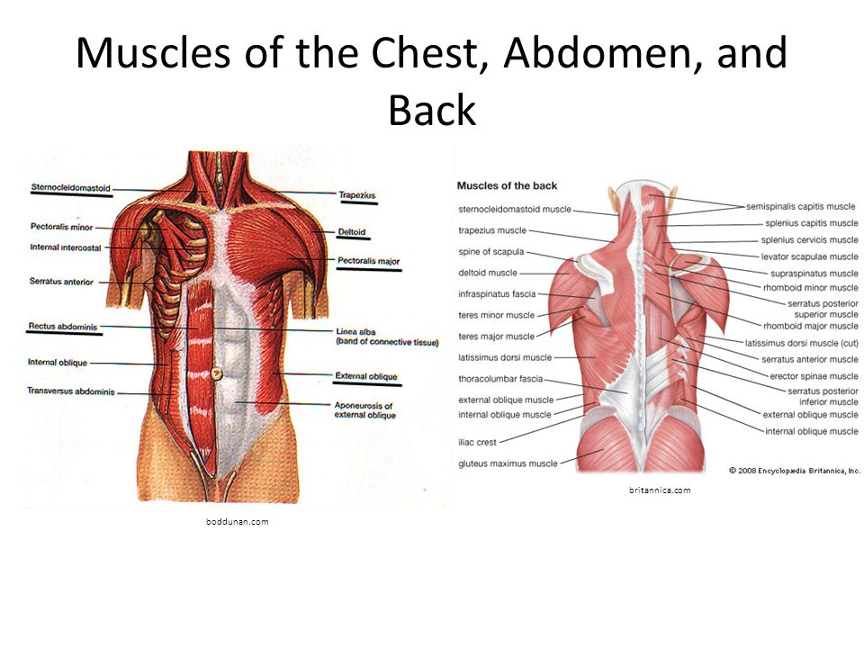 Muscles of the Chest, Abdomen, and Back boddunan.com britannica.com