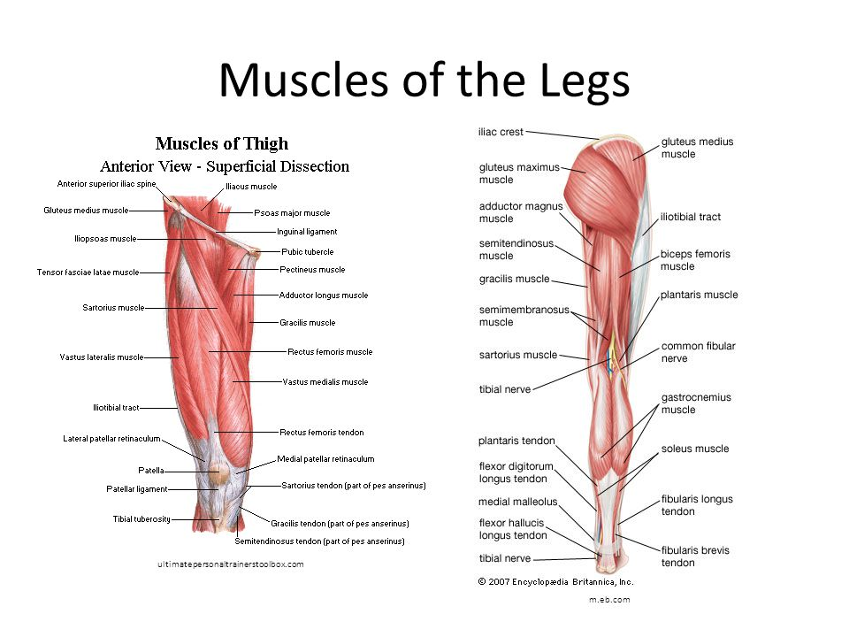 Muscles of the Legs ultimatepersonaltrainerstoolbox.com m.eb.com