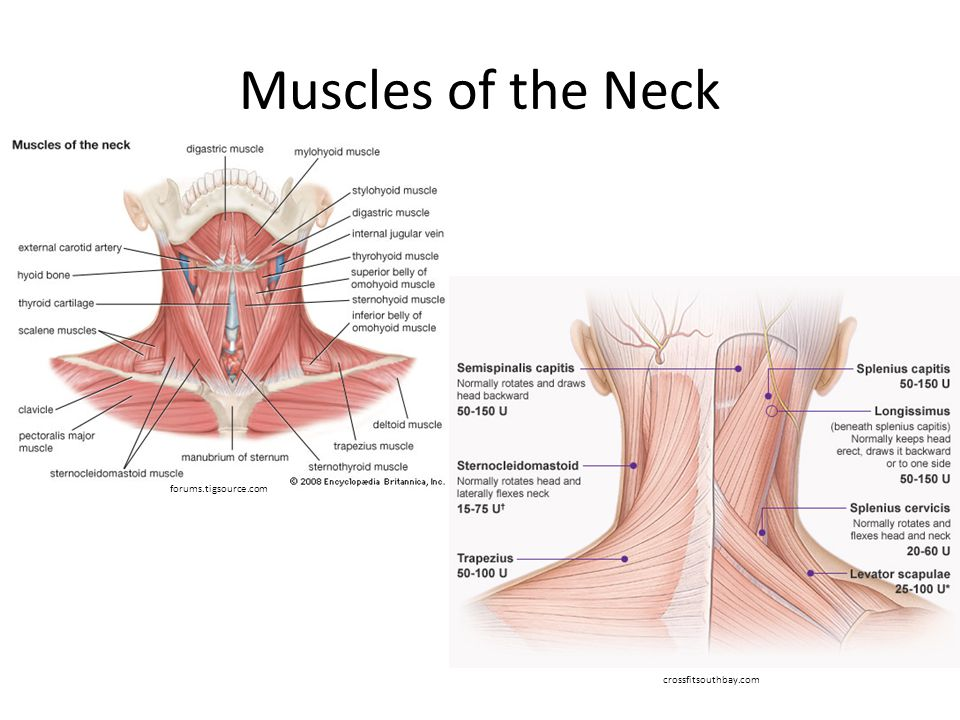 Muscles of the Neck forums.tigsource.com crossfitsouthbay.com