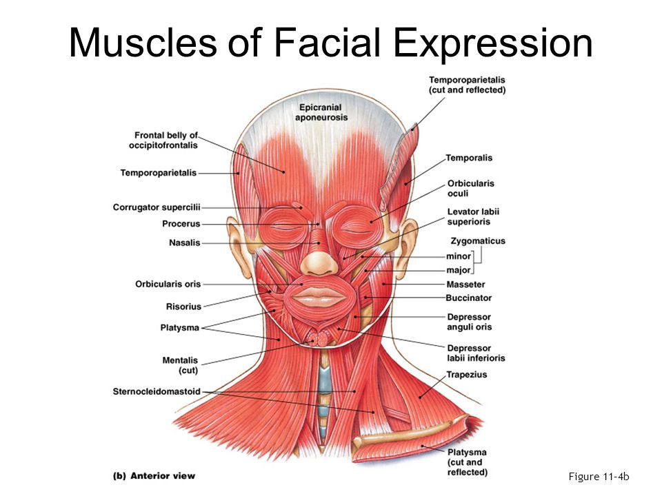 Summary: Muscles of Facial Expression Table 11–2 (1 of 2)