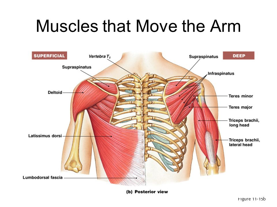 Muscles that Move the Arm (1 of 3) Deltoid: –the major abductor Supraspinatus: –assists deltoid Subscapularis and teres major: –produce medial rotation at shoulder