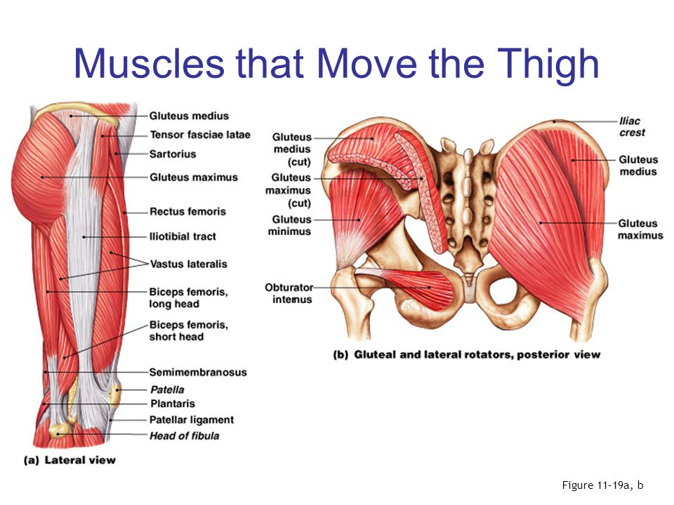 Muscles that Move the Thigh Figure 11–19c, d