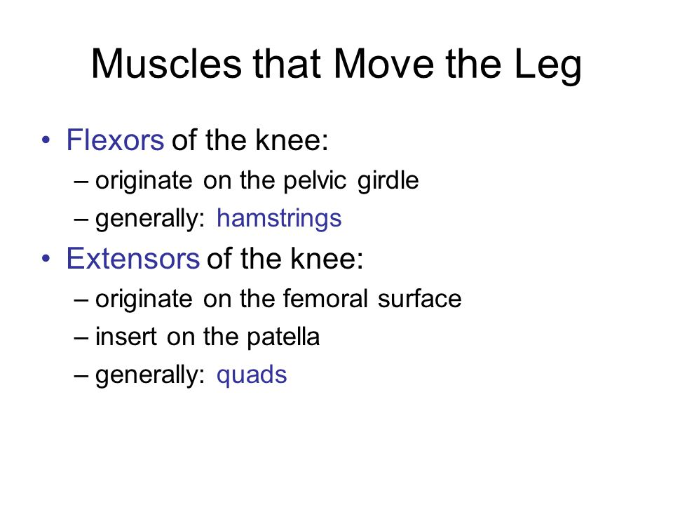 Flexors of the Knee Biceps femoris Semimembranosus Semitendinosus Sartorius: –originates superior to the acetabulum –long, ribbon-like muscle –traverses the quads and wraps around to the back of the knee