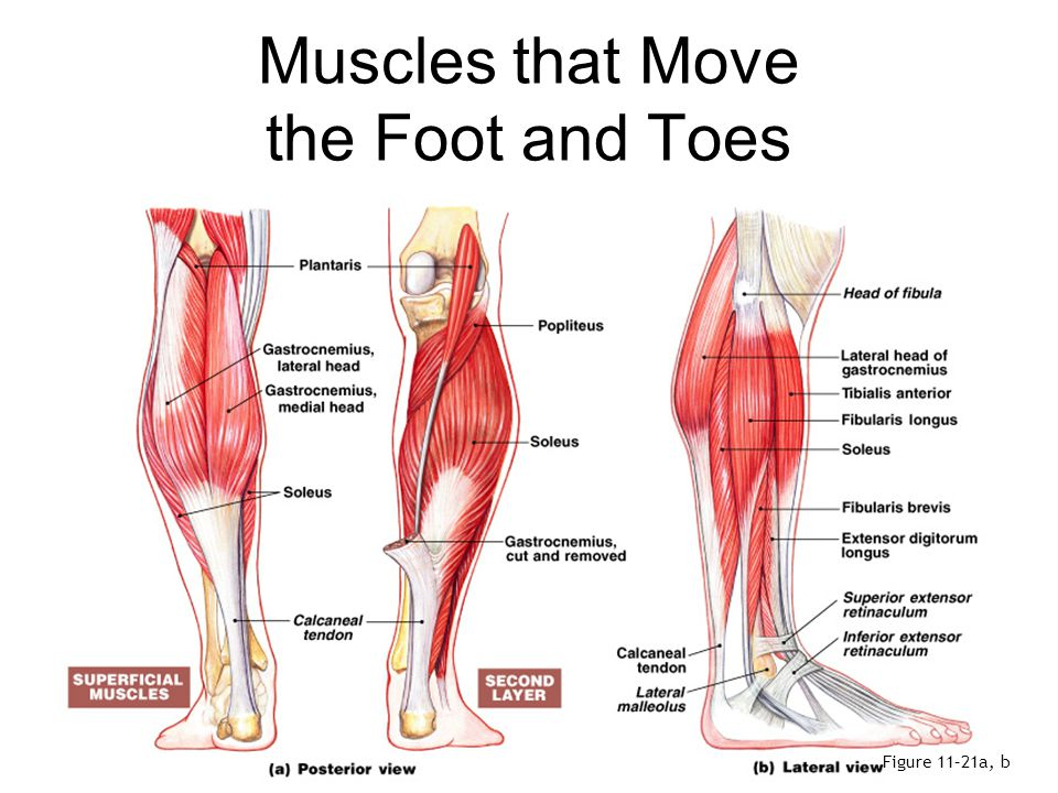 Muscles that Move the Foot and Toes Figure 11–21c, d