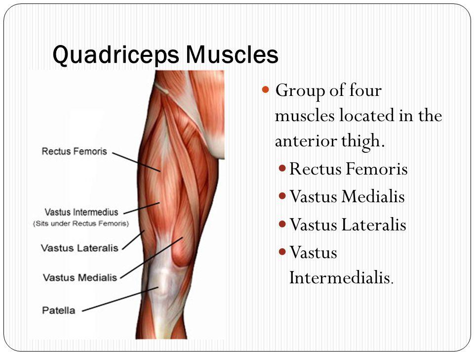 Quadriceps Muscles Group of four muscles located in the anterior thigh. Rectus Femoris Vastus Medialis Vastus Lateralis Vastus Intermedialis.