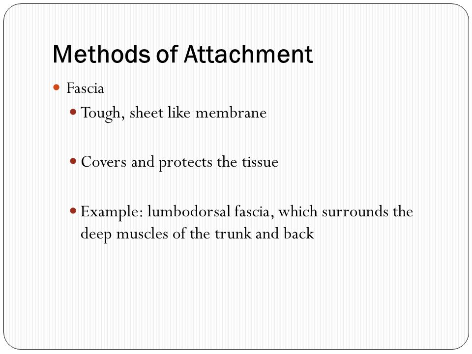 Methods of Attachment Fascia Tough, sheet like membrane Covers and protects the tissue Example: lumbodorsal fascia, which surrounds the deep muscles o