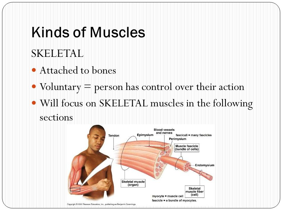 Kinds of Muscles SKELETAL Attached to bones Voluntary = person has control over their action Will focus on SKELETAL muscles in the following sections