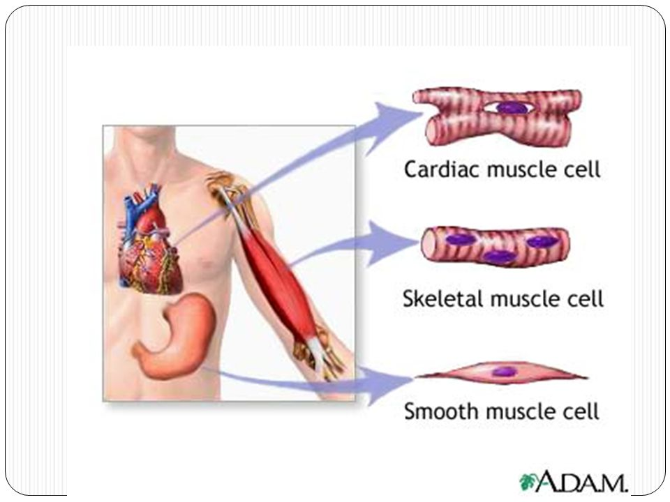 Function of Skeletal Muscles Attach to bones to provide voluntary movement Produce heat and energy Help maintain posture Protect internal organs