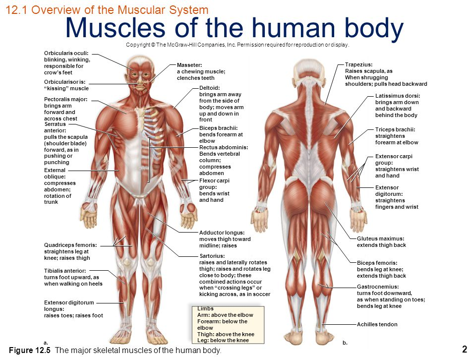 2 Muscles of the human body Orbicularis oculi: blinking, winking, responsible for crow's feet Orbicularisor is: kissing muscle Pectoralis major: brings arm forward and across chest Serratus anterior: pulls the scapula (shoulder blade) forward, as in pushing or punching External oblique: compresses abdomen; rotation of trunk Quadriceps femoris: straightens leg at knee; raises thigh Tibialis anterior: turns foot upward, as when walking on heels Extensor digitorum longus: raises toes; raises foot Limbs Arm: above the elbow Forearm: below the elbow Thigh: above the knee Leg: below the knee Achilles tendon Gastrocnemius: turns foot downward, as when standing on toes; bends leg at knee Biceps femoris: bends leg at knee; extends thigh back Gluteus maximus: extends thigh back Extensor digitorum: straightens fingers and wrist Extensor carpi group: straightens wrist and hand Triceps brachii: straightens forearm at elbow Latissimus dorsi: brings arm down and backward behind the body Trapezius: Raises scapula, as When shrugging shoulders; pulls head backward Masseter: a chewing muscle; clenches teeth Deltoid: brings arm away from the side of body; moves arm up and down in front Biceps brachii: bends forearm at elbow Rectus abdominis: Bends vertebral column; compresses abdomen Flexor carpi group: bends wrist and hand Adductor longus: moves thigh toward midline; raises Sartorius: raises and laterally rotates thigh; raises and rotates leg close to body; these combined actions occur when crossing legs or kicking across, as in soccer b.a.