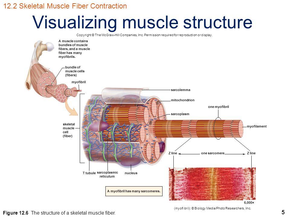 5 Visualizing muscle structure myofilament one myofibril sarcolemma mitochondrion sarcoplasm A myofibril has many sarcomeres.