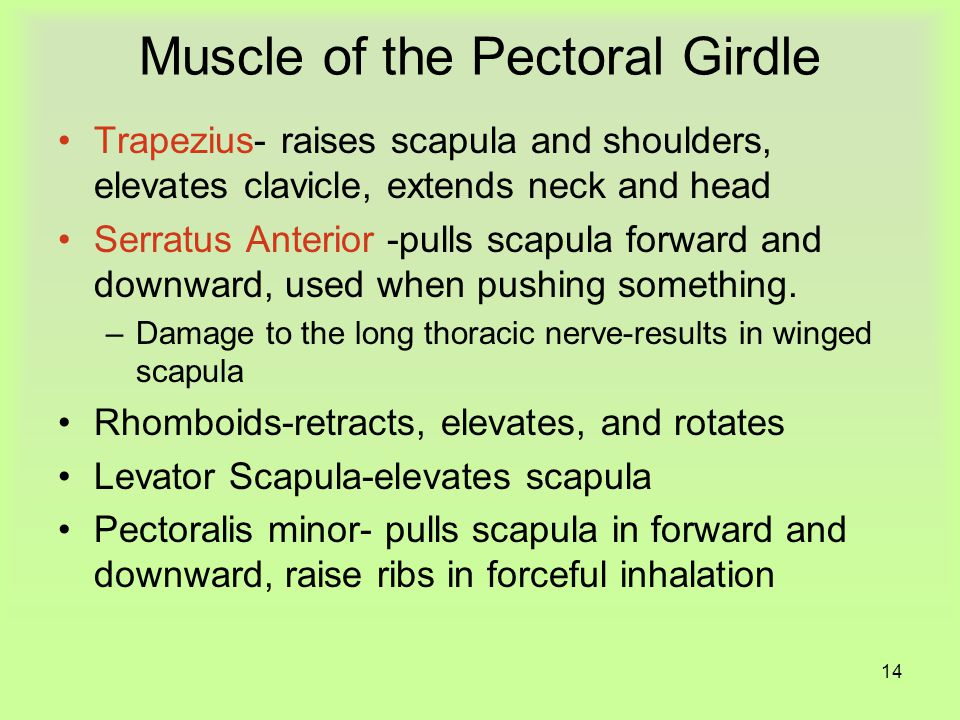 13 Muscles of Head and Vertebra Paired muscles- flex, extend, and rotate the head and hold the torso erect.