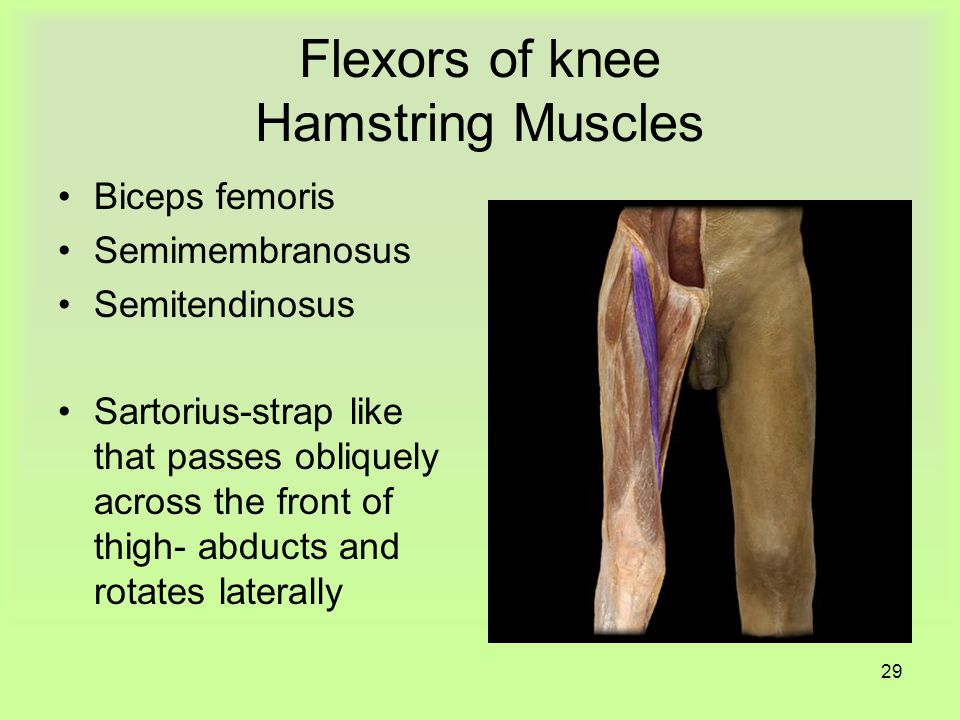 28 Quadriceps Femoris group Extensor Extends leg at knee Rectus femoris Vastus lateralis Vastus medialis Vastus intermedius
