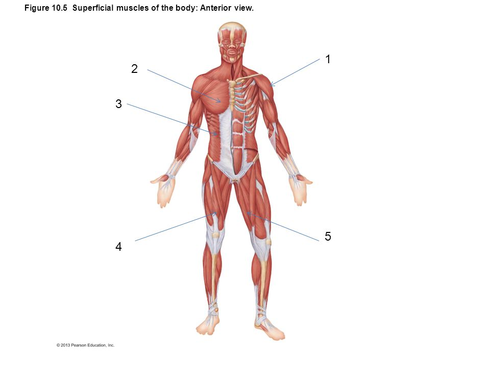 Figure 10.21a–b Posterior muscles of the right hip and thigh.