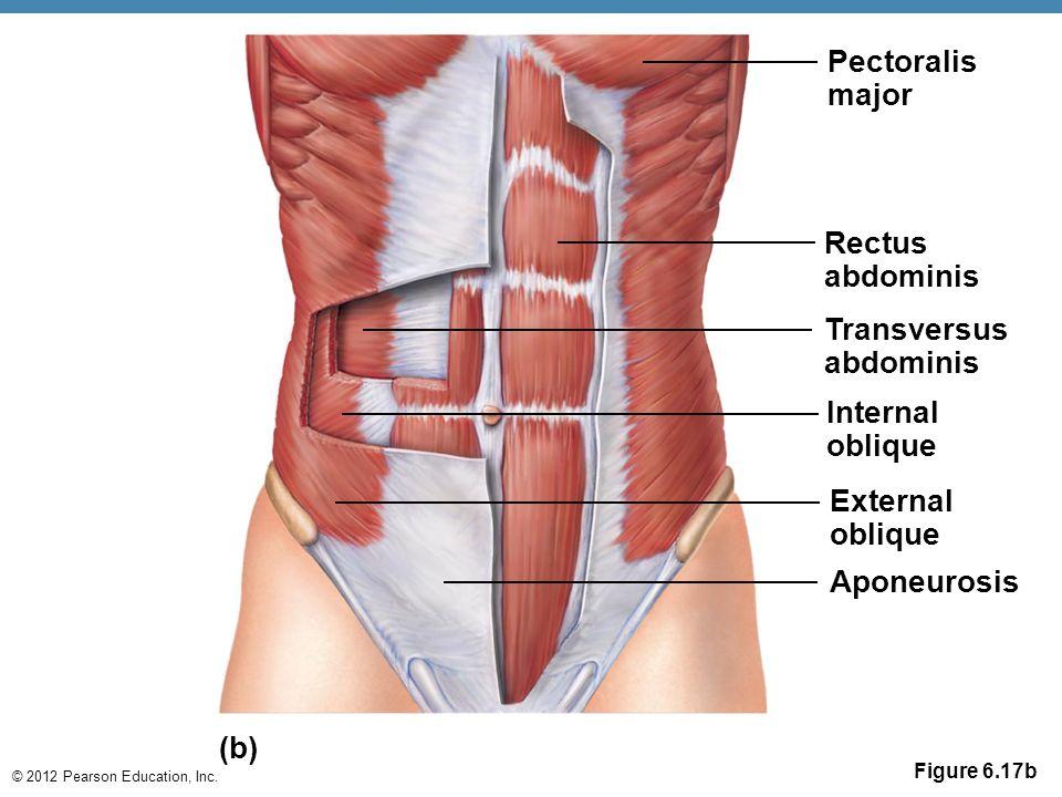 © 2012 Pearson Education, Inc. Figure 6.17b Pectoralis major Rectus abdominis Transversus abdominis Internal oblique External oblique Aponeurosis (b)