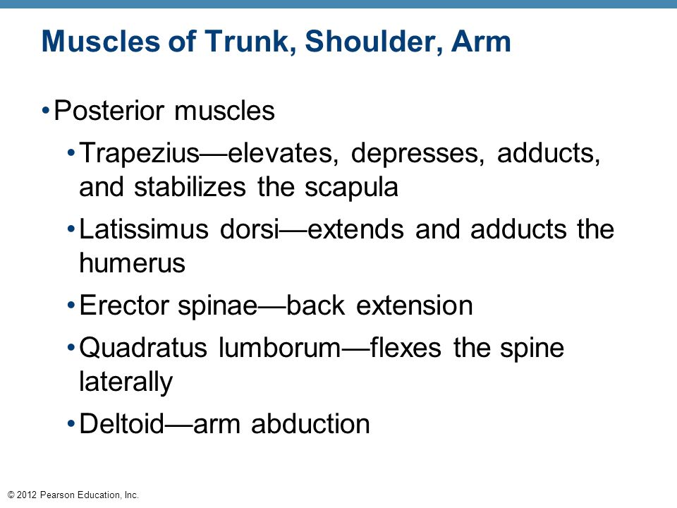 © 2012 Pearson Education, Inc. Muscles of Trunk, Shoulder, Arm Posterior muscles Trapezius—elevates, depresses, adducts, and stabilizes the scapula La