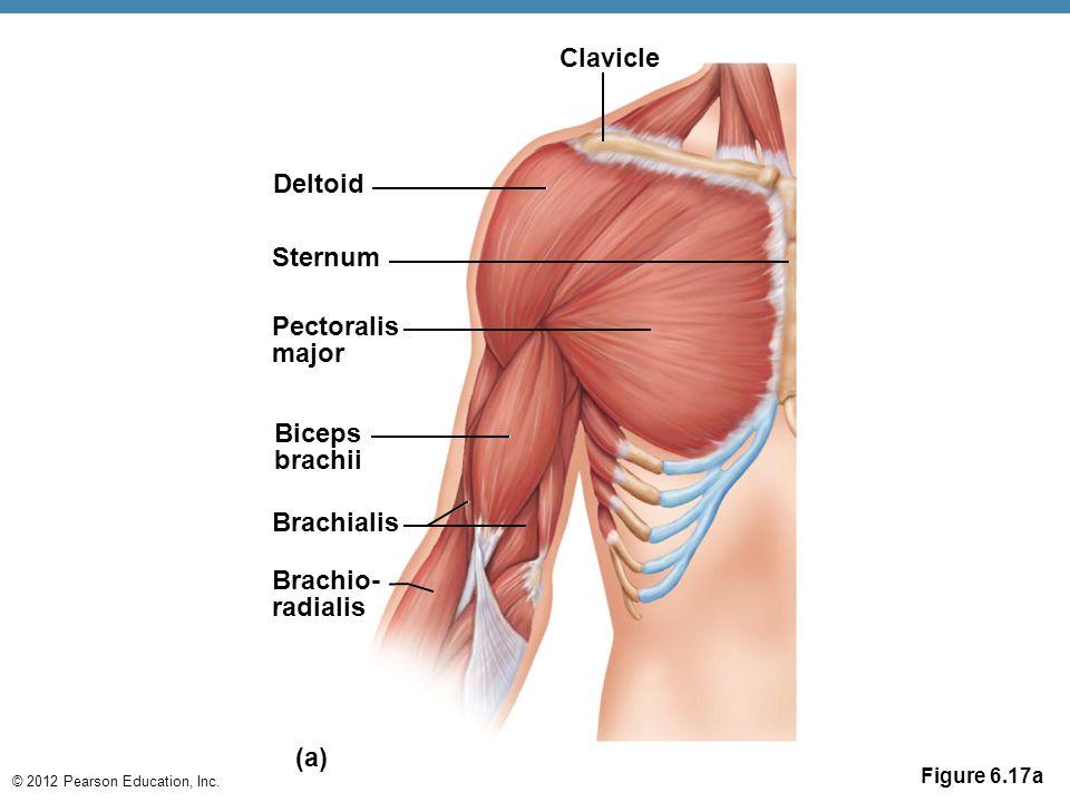 © 2012 Pearson Education, Inc. Figure 6.17a Deltoid Sternum Pectoralis major Biceps brachii Brachialis Brachio- radialis Clavicle (a)