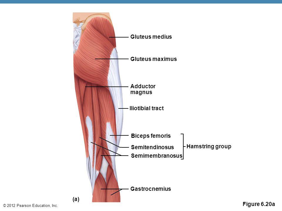 © 2012 Pearson Education, Inc. Figure 6.20a Gluteus medius Gluteus maximus Adductor magnus Iliotibial tract Biceps femoris Semitendinosus Semimembrano