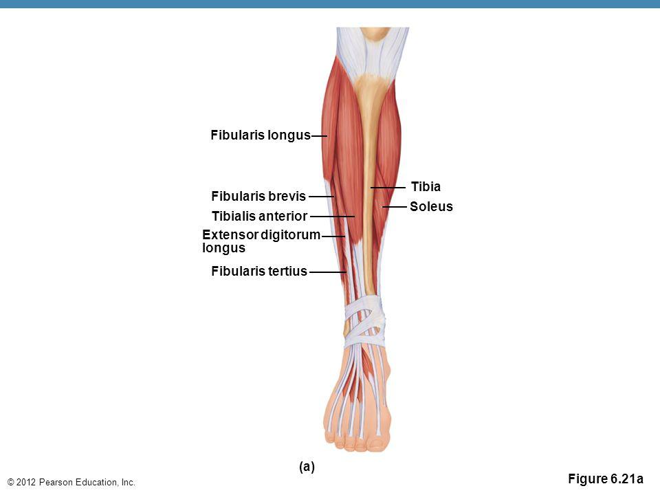 © 2012 Pearson Education, Inc. Figure 6.21a Fibularis longus Fibularis tertius Tibialis anterior Extensor digitorum longus Tibia Soleus (a) Fibularis