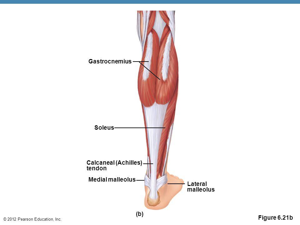 © 2012 Pearson Education, Inc. Figure 6.21b Gastrocnemius Soleus Calcaneal (Achilles) tendon Medial malleolus Lateral malleolus (b)