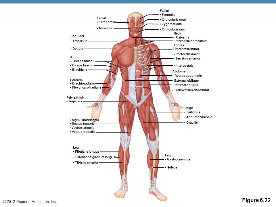 © 2012 Pearson Education, Inc. Figure 6.22 Facial Temporalis Masseter Shoulder Trapezius Deltoid Arm Triceps brachii Biceps brachii Brachialis Forearm