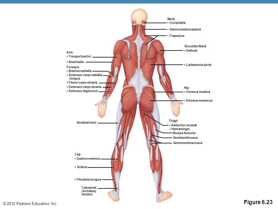 © 2012 Pearson Education, Inc. Figure 6.23 Arm Triceps brachii Brachialis Forearm Brachioradialis Extensor carpi radialis longus Flexor carpi ulnaris
