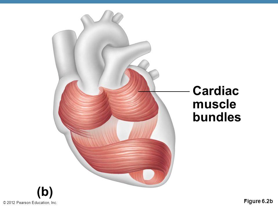 © 2012 Pearson Education, Inc. Figure 6.2b Cardiac muscle bundles (b)