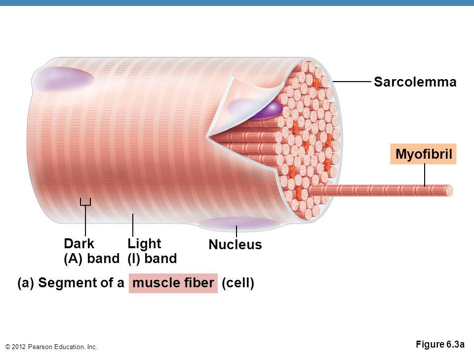 © 2012 Pearson Education, Inc. Figure 6.3a Sarcolemma Myofibril Dark (A) band Light (I) band Nucleus (a) Segment of a muscle fiber (cell)
