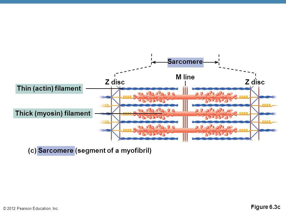 © 2012 Pearson Education, Inc. Figure 6.3c Z disc Sarcomere M line Z disc Thin (actin) filament Thick (myosin) filament (c) Sarcomere (segment of a my