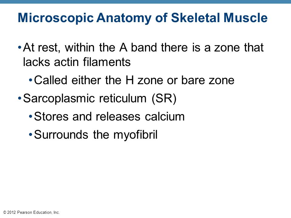 © 2012 Pearson Education, Inc. Microscopic Anatomy of Skeletal Muscle At rest, within the A band there is a zone that lacks actin filaments Called eit