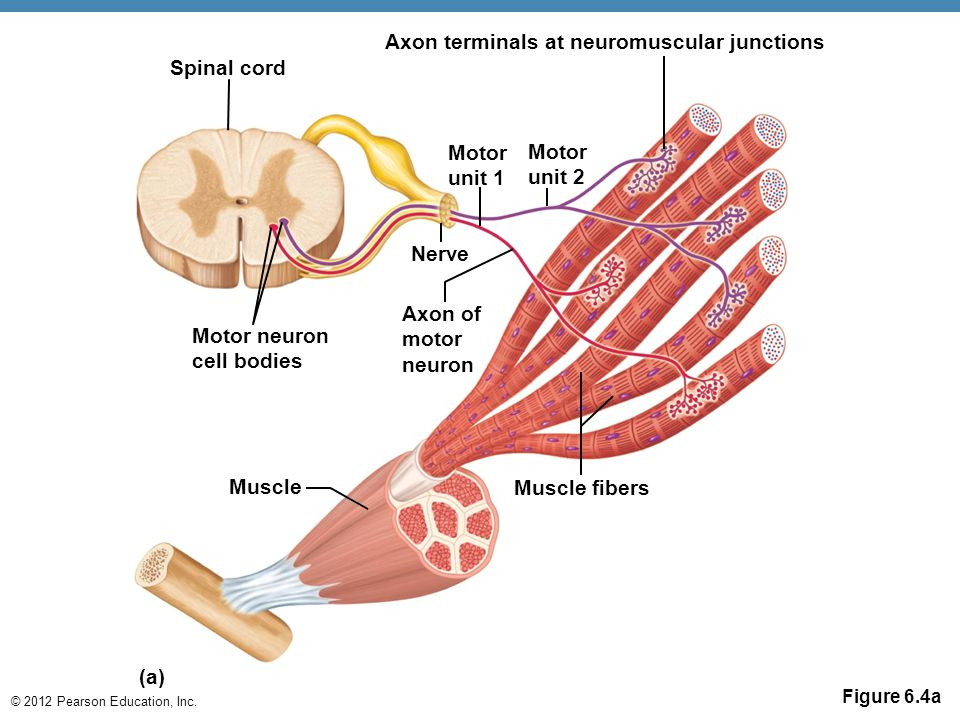 © 2012 Pearson Education, Inc. Figure 6.4a (a) Spinal cord Motor unit 1 Motor unit 2 Axon terminals at neuromuscular junctions Nerve Axon of motor neu
