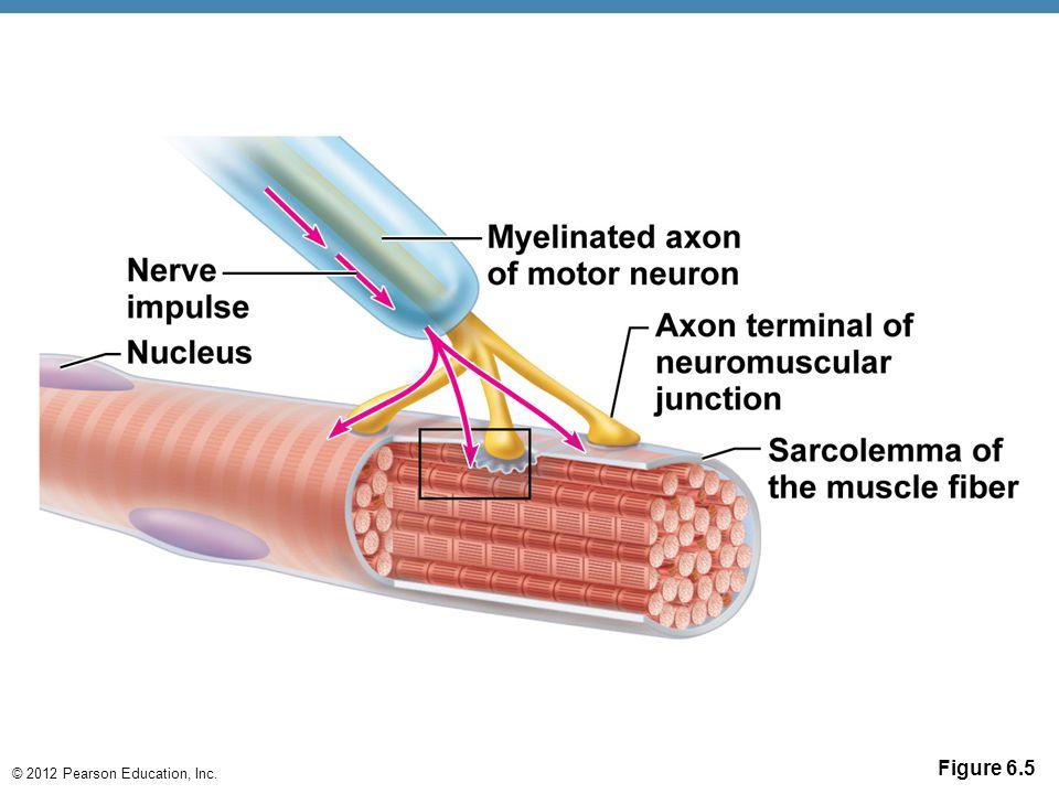 © 2012 Pearson Education, Inc. Figure 6.5