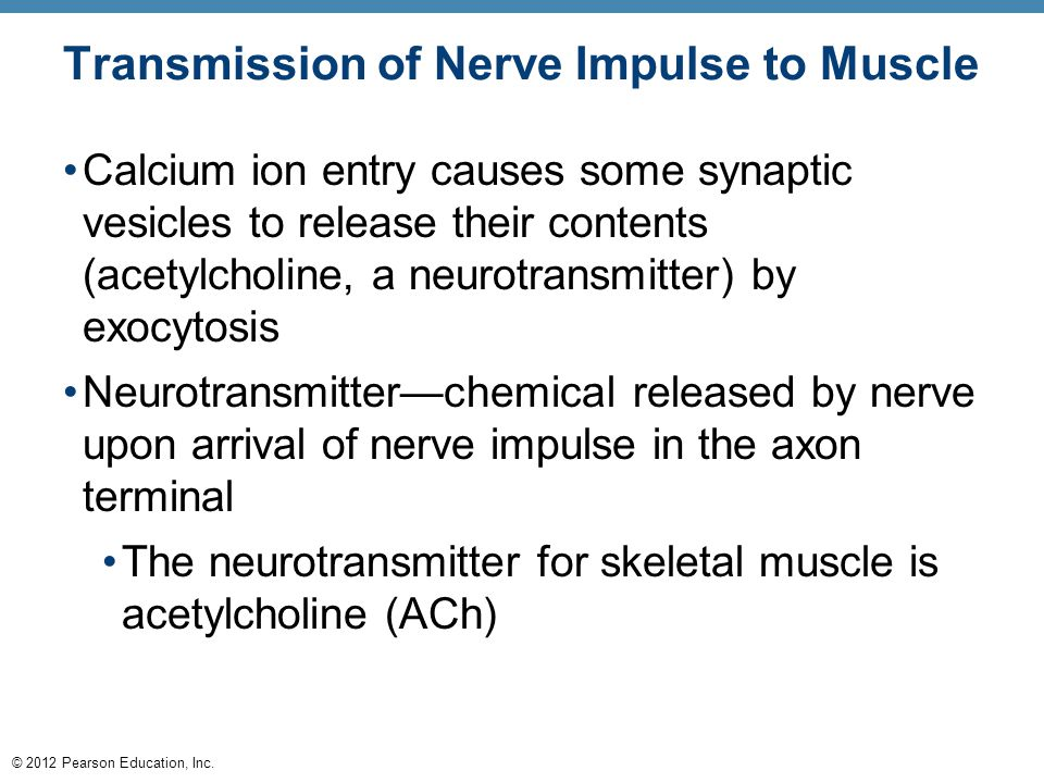 © 2012 Pearson Education, Inc. Transmission of Nerve Impulse to Muscle Calcium ion entry causes some synaptic vesicles to release their contents (acet