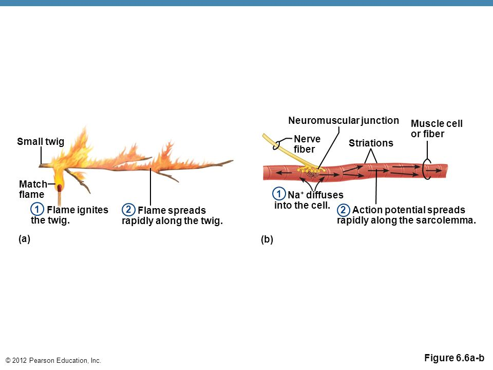 © 2012 Pearson Education, Inc. Figure 6.6a-b Small twig Match flame Flame ignites the twig. Flame spreads rapidly along the twig. Neuromuscular juncti