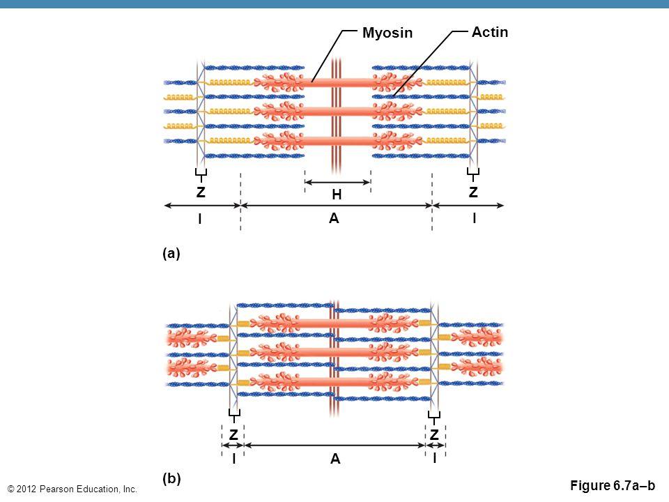 © 2012 Pearson Education, Inc. Figure 6.7a–b Myosin Actin Z H I Z A I (a) (b) Z I A I Z