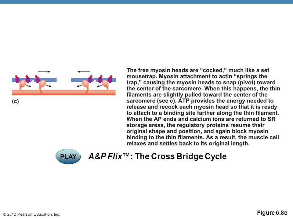 © 2012 Pearson Education, Inc. Figure 6.8c PLAY A&P Flix™: The Cross Bridge Cycle