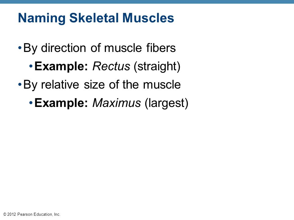 © 2012 Pearson Education, Inc. Naming Skeletal Muscles By direction of muscle fibers Example: Rectus (straight) By relative size of the muscle Example