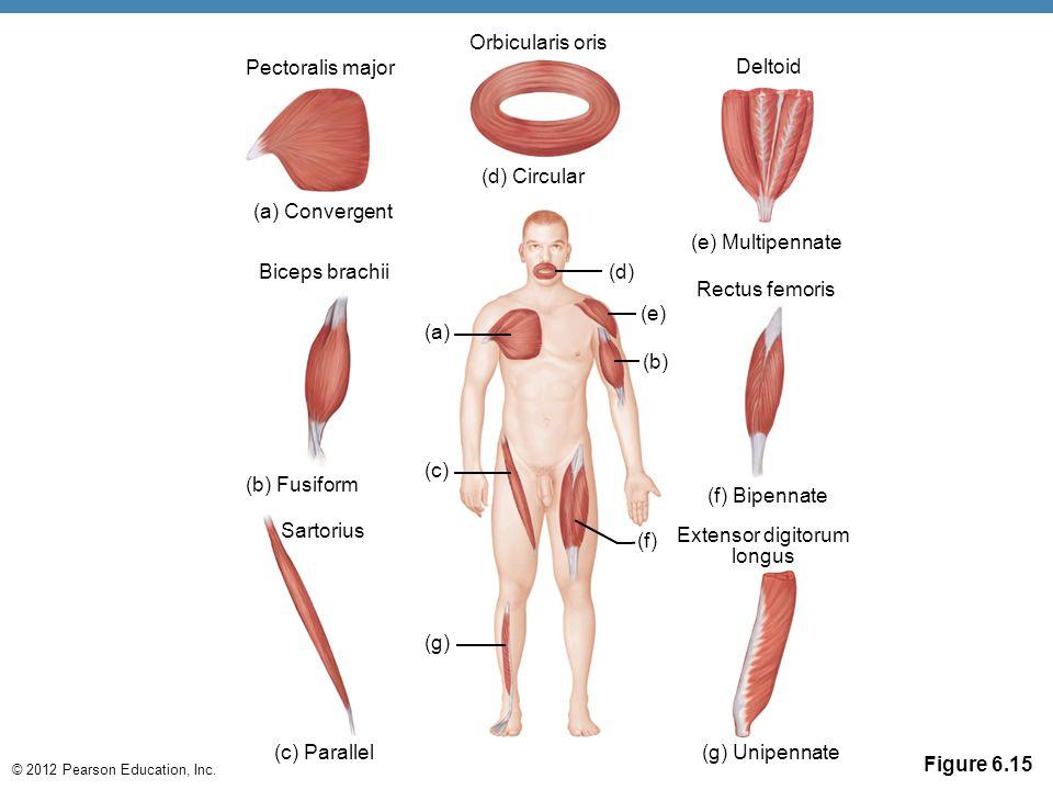 © 2012 Pearson Education, Inc. Figure 6.15 (g) Unipennate (f) Bipennate Orbicularis oris Deltoid (d) Circular (a) Convergent Biceps brachii (a) (c) (b
