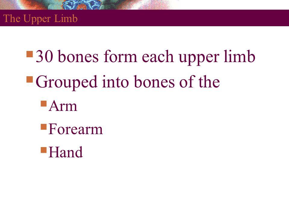 The Upper Limb  30 bones form each upper limb  Grouped into bones of the  Arm  Forearm  Hand