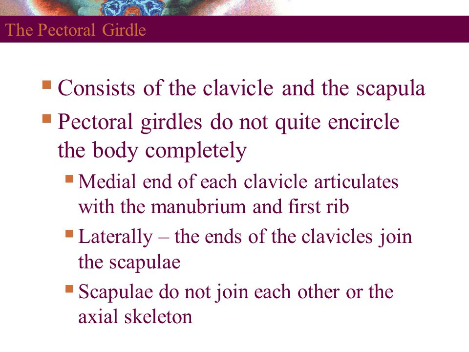 The Pectoral Girdle  Consists of the clavicle and the scapula  Pectoral girdles do not quite encircle the body completely  Medial end of each clavi